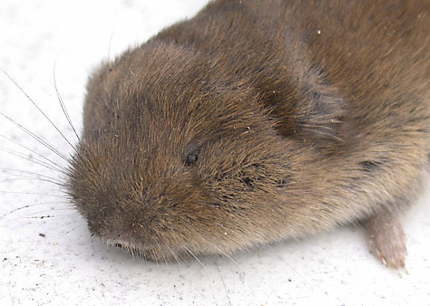 Voles and Controlling Them