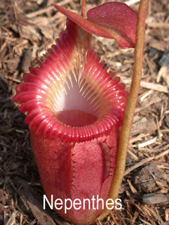 image of pitcher plant