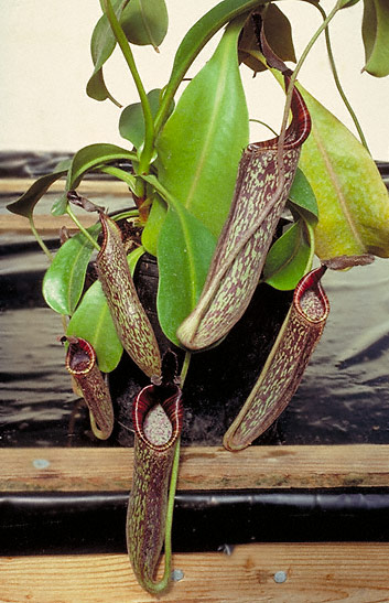 Silver Toned Nepenthes Pitcher Carnivorous Plant Tie Clip