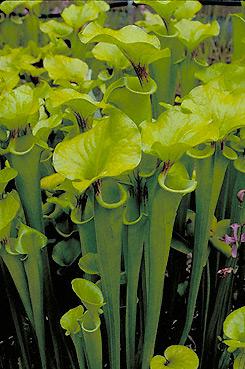 Sarracenia Flava The Yellow Pitcher Plant